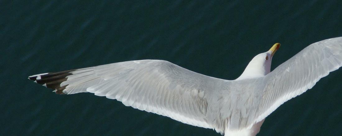 sea-gull-1100x439